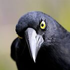 Pied Currawong by Jeremy Weiss