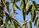 Black-throated Gray Warbler ~ Male by Kimberly Chadwick