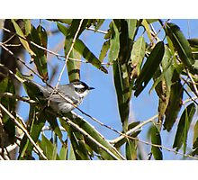 Black-throated Gray Warbler ~ Male Photographic Print
