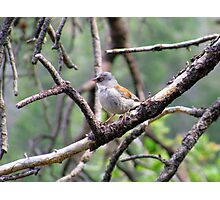 Yellow-eyed Junco Photographic Print