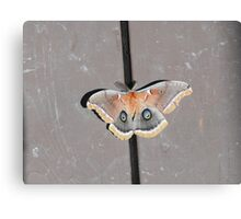 Polyphemus Moth (Antheraea polyphemus) Canvas Print