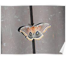Polyphemus Moth (Antheraea polyphemus) Poster