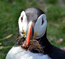 Puffin with Nesting Material by Chris Monks