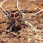 Funnel-web spider by Matt Duncan