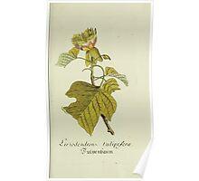 Plantarum Indigenarum et Exoticarum - Lukas Hochenleitter und Kompagnie 1788 - 028 - Liriodendron Tulipifera or Tulip Tree Poster