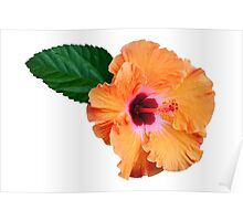 Coloured ibiscus flower Poster