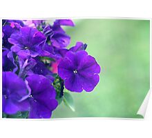 Purple Petunia Flowers Poster
