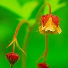 Water  Avens by EUNAN SWEENEY