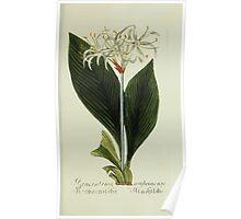 Plantarum Indigenarum et Exoticarum - Lukas Hochenleitter und Kompagnie 1788 - 030 - Pancratium Ambeinense or Brisbane Lilly Poster