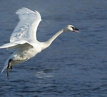Trumpeter Swan Landing on the River by livinginoz