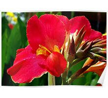 Canna Lilies Poster