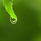 Bright Green Drop Hanging From a Leaf by Kyle Johnstone