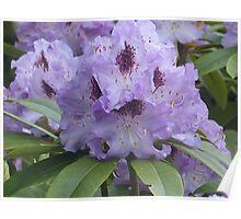 Purple Rhodies Poster