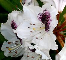 White and Purple Rhodies by art2plunder
