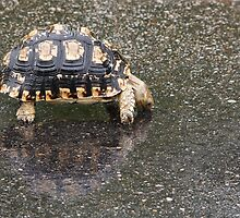 Tortoise Drinking After the Rain by Aldi221