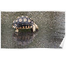 Tortoise Drinking After the Rain Poster