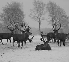 Red Deer Stags Studley Royal, Ripon - North Yorkshire by Kat Simmons