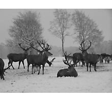 Red Deer Stags Studley Royal, Ripon - North Yorkshire Photographic Print