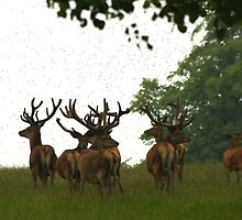 Red Deer Stags in June at Studley Royal, Ripon - North Yorkshire by Kat Simmons