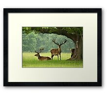 Red Deer Stags in June at Studley Royal, Ripon - North Yorkshire Framed Print