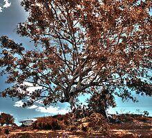 Fig tree by eyeinthesky