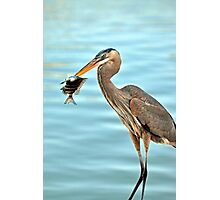The Blue Heron and the Sheephead Photographic Print