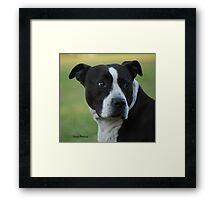American Staffordshire Bull Terrier Framed Print