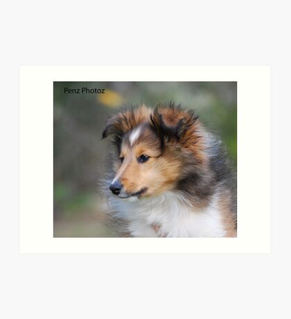Shetland Sheepdog puppy Art Print