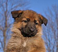 Sable Puppy by Sandy Keeton