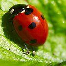 Ladybird Shine by Paul Revans