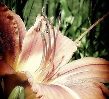 The Lavender Day Lily by trueblvr