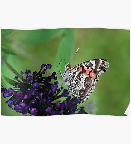 Pretty Lady on a Butterfly Bush Poster