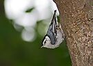 White-breasted Nuthatch by Bonnie Robert