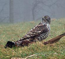 Goshawk on prey (pheasant), Wales, UK by purpleharrier