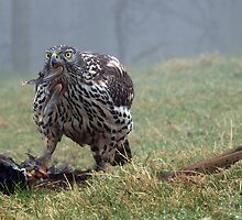 Goshawk eating a pheasant, Wales, UK by purpleharrier