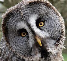 Great grey owl face, wales, UK. by purpleharrier