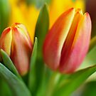 For Those Who Love Tulips by Kevin Cotterell