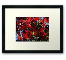 Maple In Bloom Framed Print