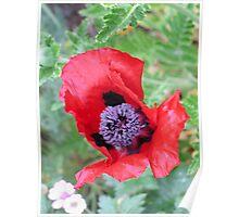 Red Poppy Poster
