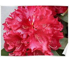 Red Rhodie Poster