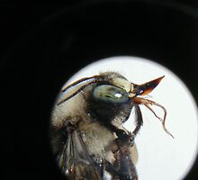 Carpenter Bee, thru the Loupe by laurieleec