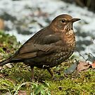 Female Blackbird by Robert Abraham