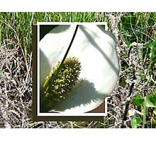 Wild Cala Lily,... Breaking Free Photographic Print