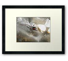 Black Widow showing Bow Tie Framed Print