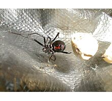 Black Widow showing Bow Tie Photographic Print