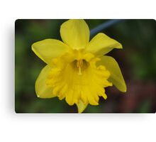 My First Daffodil for 2010 Canvas Print