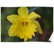My First Daffodil for 2010 Poster