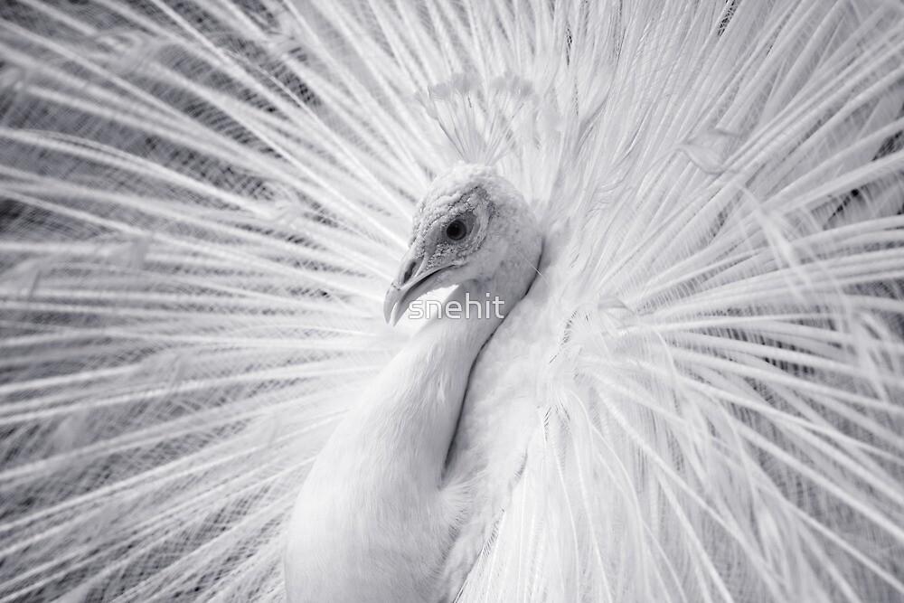 White Peacock by snehit