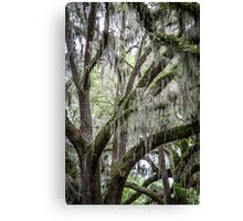 More Spanish Moss Canvas Print