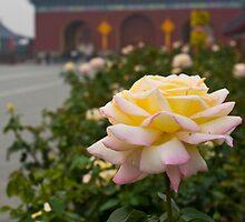 Chinese Rose by Karen Millard